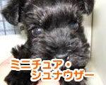 福生・青梅・東大和のペットショップ chouchou 仔犬・仔猫の在舎情報-ミニチュア・シュナウザー