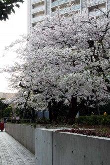 カルマンギアのある生活-グリーンコートの桜4