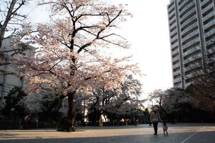 カルマンギアのある生活-グリーンコートの桜5