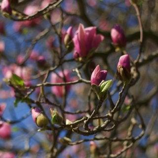 オイラ陽気なイタロ・ジャッポネーゼ■ミラノ-木蓮の花