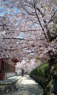 天然徒然日記-桜