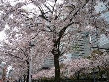 こぶた(・@・)ぶろぐ-桜いっぱい