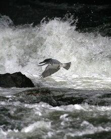 T/Hの野鳥写真 -ヤマセミ