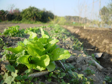26歳、趣味で農業始めました。★家庭菜園の野菜-チマサンチ