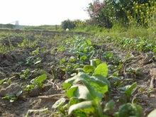 26歳、趣味で農業始めました。★家庭菜園の野菜-ゴボウ