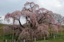 福島県在住ライターが綴る あんなこと こんなこと-三春滝桜