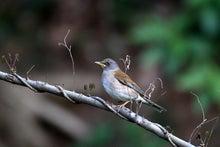 T/Hの野鳥写真 -シロハラ