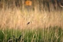 T/Hの野鳥写真 -ノビタキ