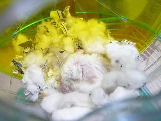 ☆ハムsの足跡☆ verⅡ-しろ 綿好き2
