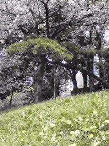 のほほん料理生活-桜とたんぽぽ.jpg