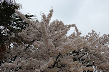 福島県在住ライターが綴る あんなこと こんなこと-郡山市内の桜