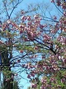 とろとろひとりごと-八重桜
