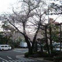 八芳園での花見の写真…