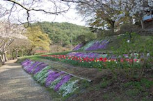 福島県在住ライターが綴る あんなこと こんなこと-散る桜