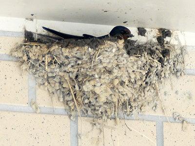 オカヤマのフィールドノート-ツバメ巣