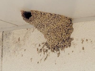 オカヤマのフィールドノート-コシアカツバメ巣