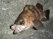 Fishing Blog OFFSHORE CRAZY! ~ 夢は一発大物!   鮪だ!鰤だ!大政だ!巨カンパだ!大鯛だ!なんでもこ~い!-ミノーで