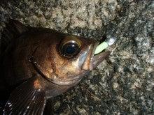 Fishing Blog OFFSHORE CRAZY! ~ 夢は一発大物!   鮪だ!鰤だ!大政だ!巨カンパだ!大鯛だ!なんでもこ~い!-わーむ