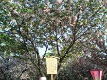 R-patrol ~新しきぼくの光と道~-造幣局 桜の通り抜け2