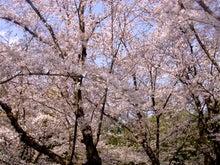 これからこれから♪ U ̄ー ̄U ニヤリ -2009桜