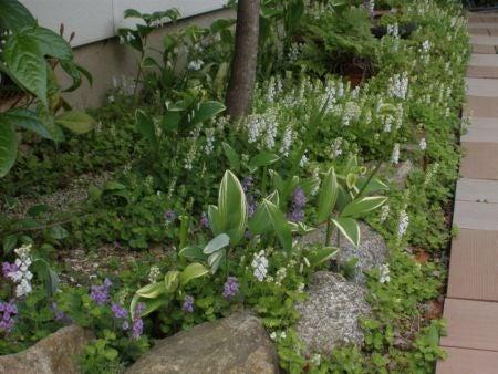 僕の毎日 そして過去-タツナミ草も咲きました
