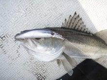 Fishing Blog OFFSHORE CRAZY! ~ 夢は一発大物!   鮪だ!鰤だ!大政だ!巨カンパだ!大鯛だ!なんでもこ~い!-RUNDAM