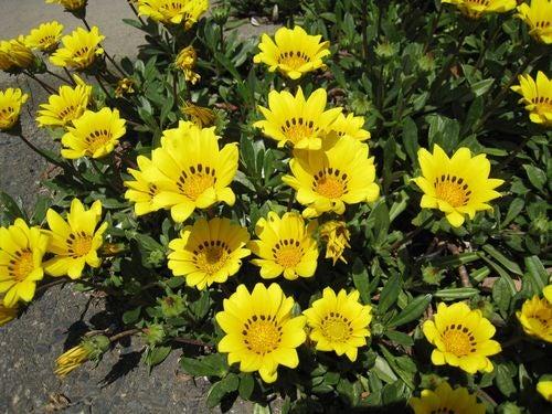 Al Kinetoj (アル キネートィ)-黄色い花