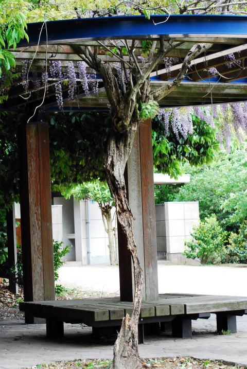 志度・路・戻ろ(しどろもどろ)-亀鶴公園の藤