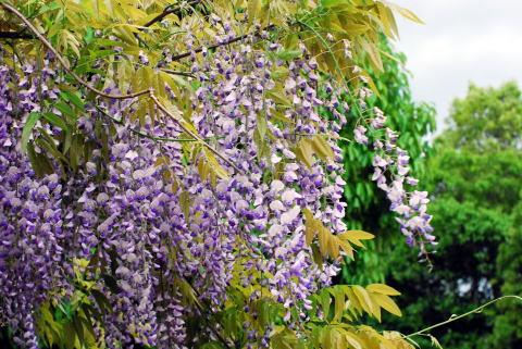 志度・路・戻ろ(しどろもどろ)-藤の花