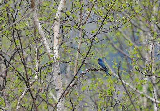北海道の野生動植物写真-オオルリ