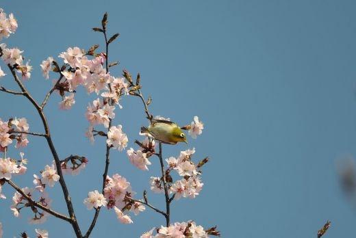 北海道の野生動植物写真-メジロ