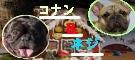 BUHI×2 フレンチブルドッグのコナン♂とネジ♂の休日日記