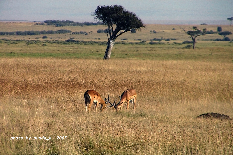 アフリカゾウ・チーター 写真&CG日記サバンナのインパラ家族コメント