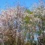 快晴と桜満開
