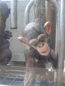 素尻同盟☆あほせぶろぐ-旭山・チンパンジー。