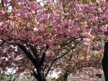 食べて飲んで観て読んだコト-八重桜