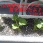 四季生りイチゴ収穫!…