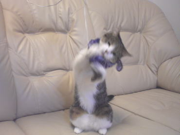 くぅちゃんだって猫である。-遊ぶ1