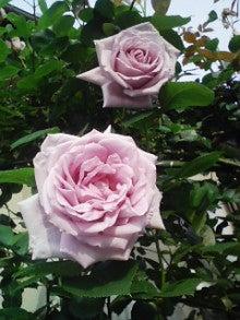 春月の『ちょこっと健康術』-バラ