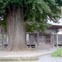 浄休寺の大銀杏