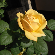 SPACE CREATER日記-ベランダのバラ