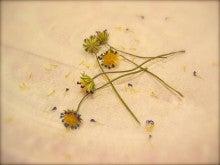 「銀の葉」-花が散っても。。。