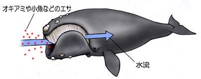 川崎悟司 オフィシャルブログ 古世界の住人 Powered by Ameba-セミクジラのエサのとり方