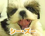 福生・青梅・東大和のペットショップ chouchou 仔犬・仔猫の在舎情報-シーズー
