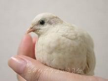 絵日記ブログ・姫うずらまみれ-ひなこ