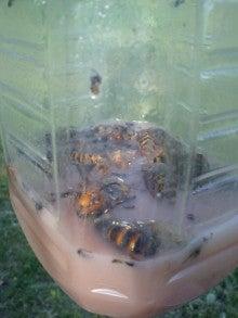 さとけんの日々-スズメバチ2