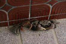 歩き人ふみの徒歩世界旅行 日本・台湾編-玄関に住むカニ