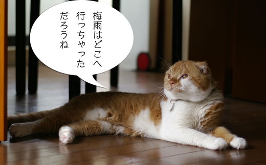 スコ猫くまきち日和+