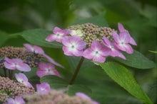 毎日はっぴぃ気分☆-紫紫陽花