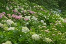 毎日はっぴぃ気分☆-紫陽花の丘